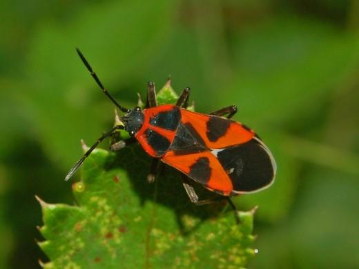 Lygaeidae - Tropidothorax leucopterus